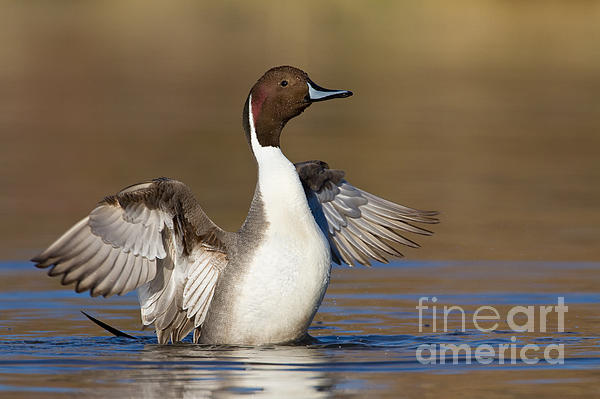 Northern Pintail Wing Flap Print by Bryan Keil