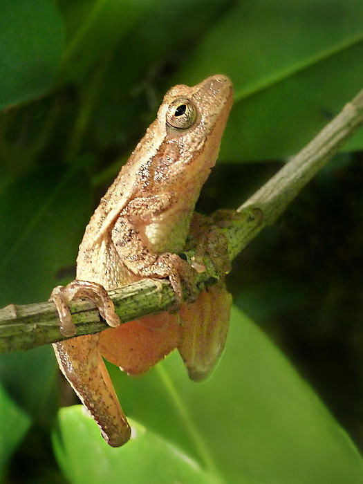 Northern Spring Peeper Print by William Tanneberger