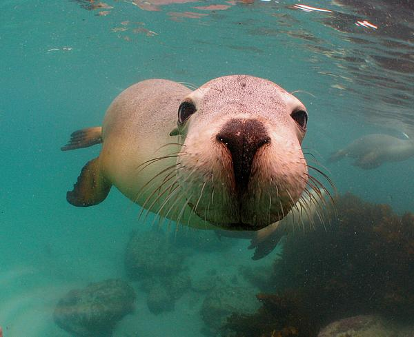 Nosey Sea Lion Print by Crystal Beckmann