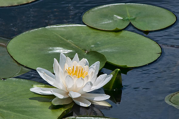 Nymphaea Odorata Ait.  American White Water-lily Print by Steven Yacuzzo