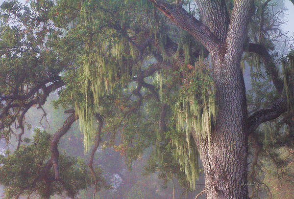 Oak Tree And Spanish Moss In The Mist Print By Stephanie Laird