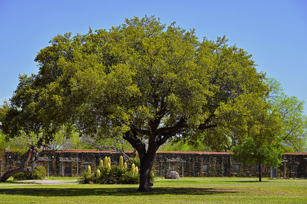 Oak Tree Mission San Jose Tx Print by Christine Till
