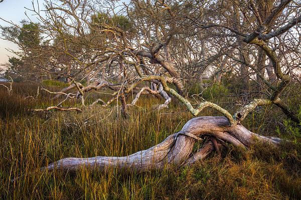 Oak Trees In The Marsh Print by Debra and Dave Vanderlaan