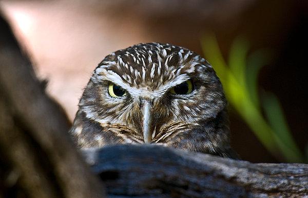 Observant Owl Print by Dave Dilli