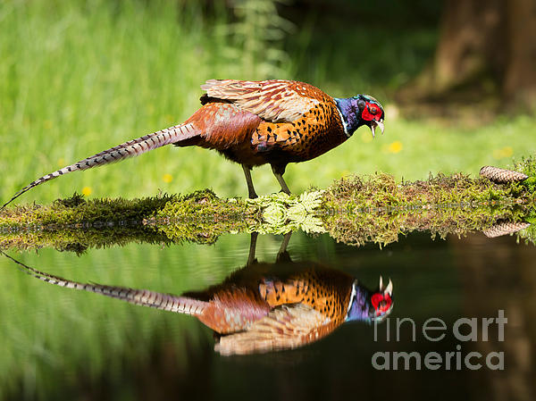 Oh My What A Handsome Pheasant Print by Louise Heusinkveld