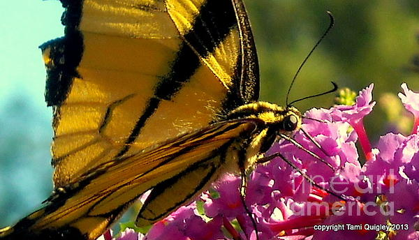 Tami Quigley - Oh Papillon