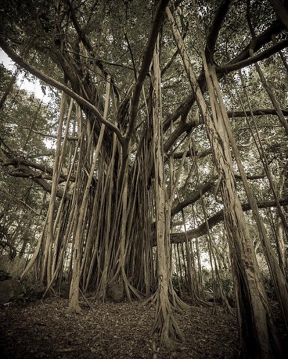Old Banyan Tree Print by Adam Romanowicz