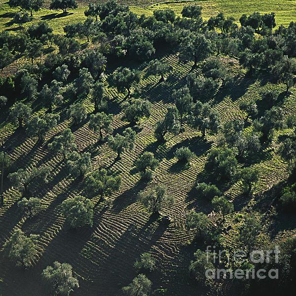 Heiko Koehrer-Wagner - Olive Farmland in Spain