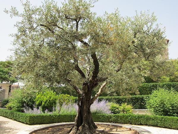 Olive Tree Print by Pema Hou