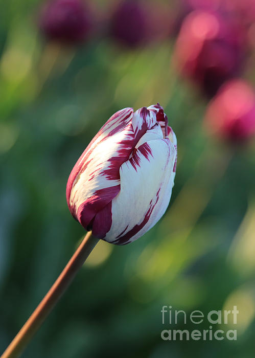 Carol Groenen - One Pretty Different Tulip
