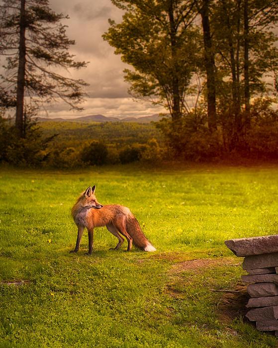 One Red Fox Print by Bob Orsillo