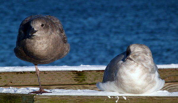 Darrell MacIver - One Seagull Up And The Other Down At Jericho Beach
