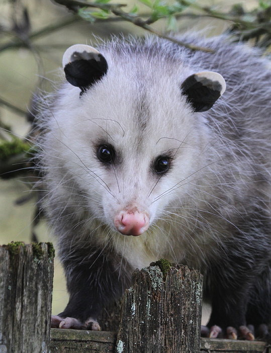 Opossum Print by Angie Vogel