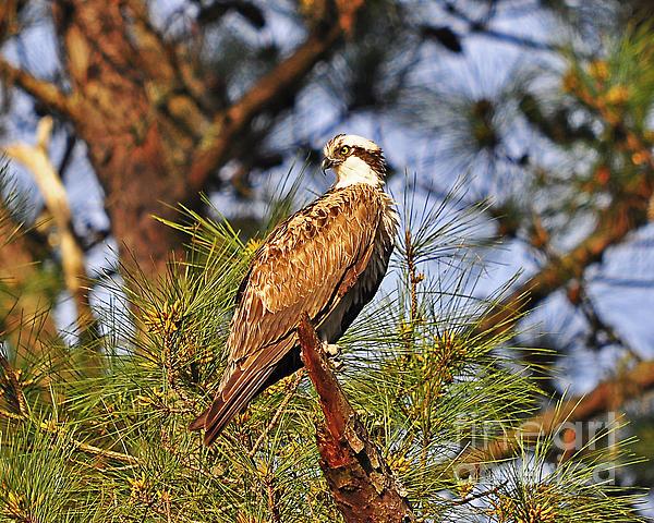 Opulent Osprey Print by Al Powell Photography USA