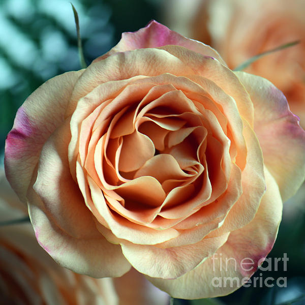 Connie Fox - Orange and Purple Rose Square Macro