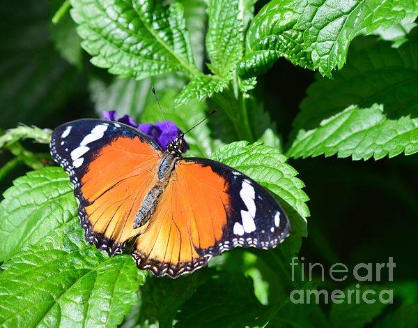 Kathleen Struckle - Orange Butterfly