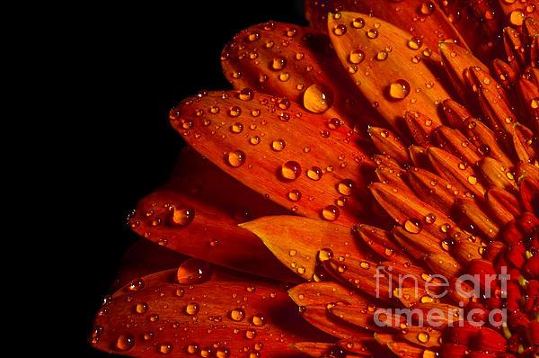Sindy Stohler - Orange Gerbera with drops