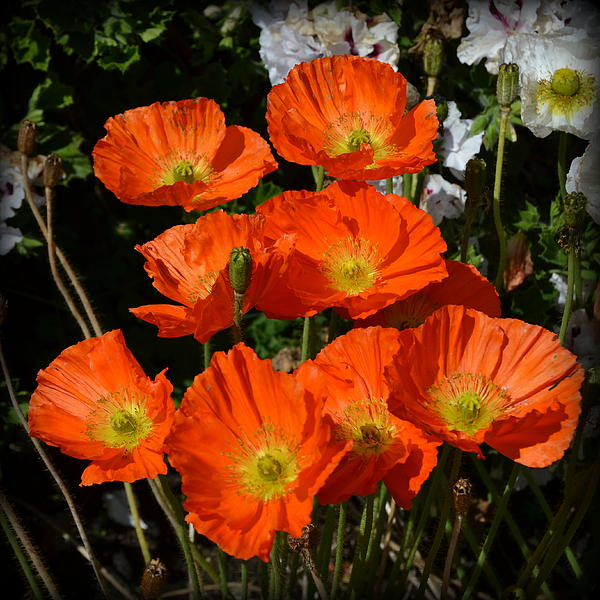 Carla Parris - Orange Icelandic Poppies