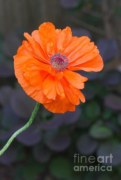 Orange Poppy Print by Steve Augustin