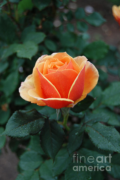 Eva Kaufman - Orange Rose