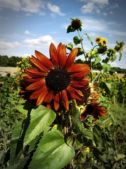 Orange Sunflower Print by Nafets Nuarb