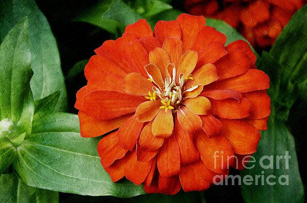 Orange Velvet Zinnia Print by Andee Design