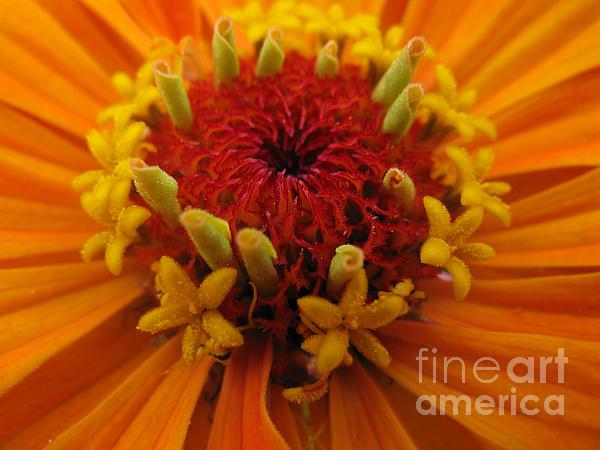 Orange Zinnia. Up Close And Personal Print by Ausra Paulauskaite