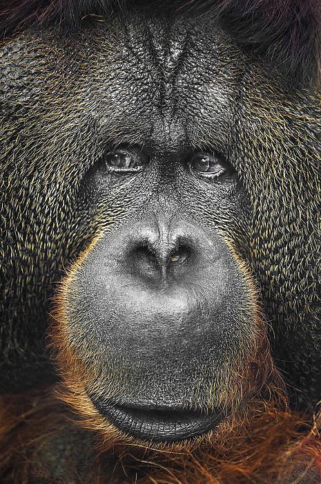 Orangutan Print by Svetlana Sewell