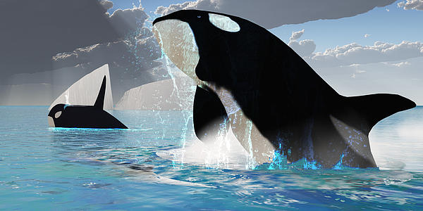 Orca Whales Print by Corey Ford