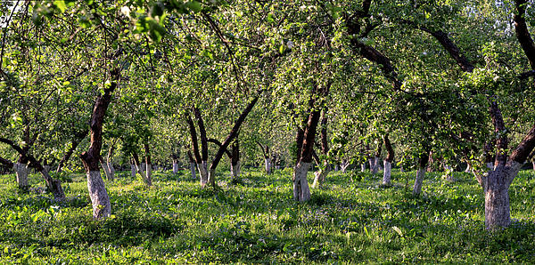 Orchard Print by Anonymous