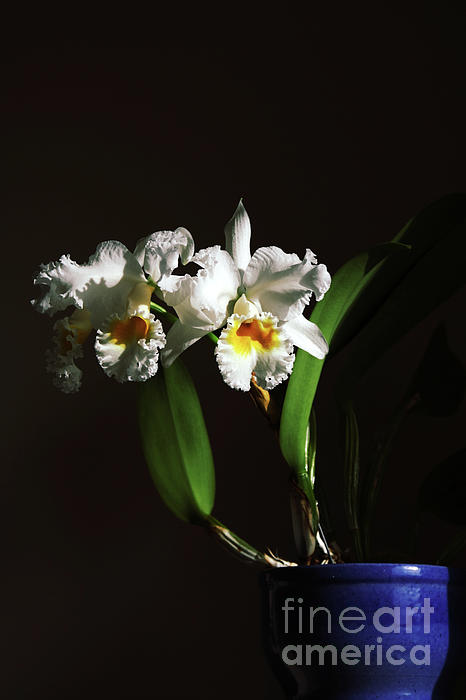 Orchid Cattleya Bow Bells Print by Charline Xia
