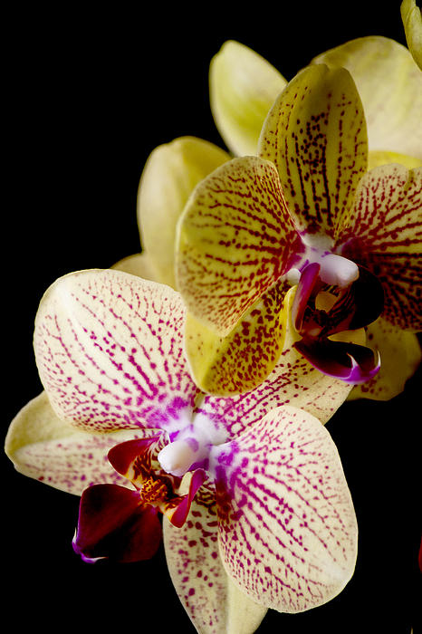 Orchid Print by Ivete Basso