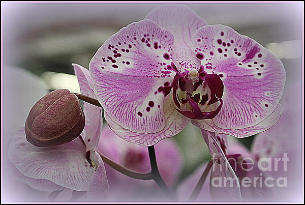 Photographic Art and Design by Dora Sofia Caputo - Orchid Lovely in Purple