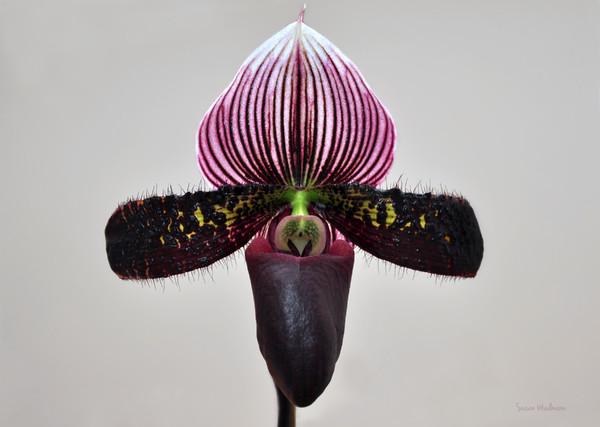 Orchid Paphiopedilum Satchel Paige X Black Beauty Print by Susan Wiedmann
