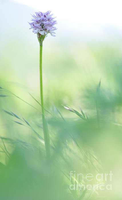 Orchid Print by Simona Ghidini