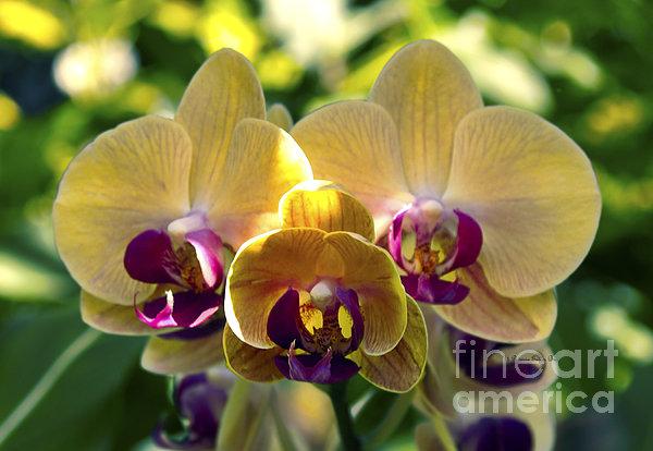 Patricia Griffin Brett - Orchid Study VIII