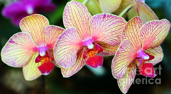 Orchid Trio Print by Kathleen Struckle