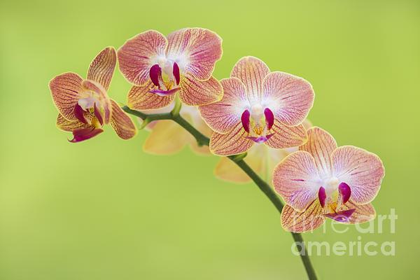 Orchids Print by Diane Diederich