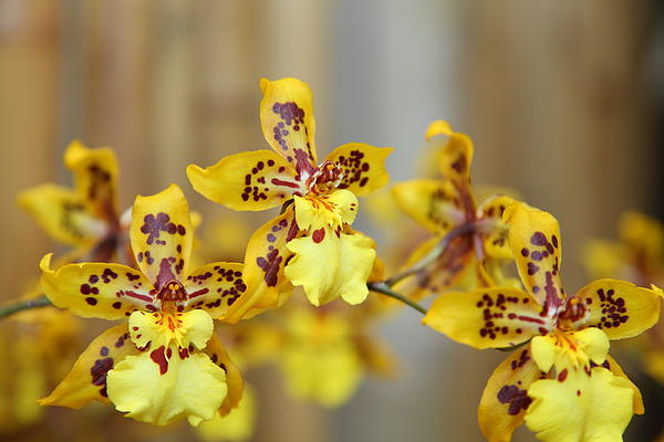 Orchids - Us Botanic Garden - 011345 Print by DC Photographer