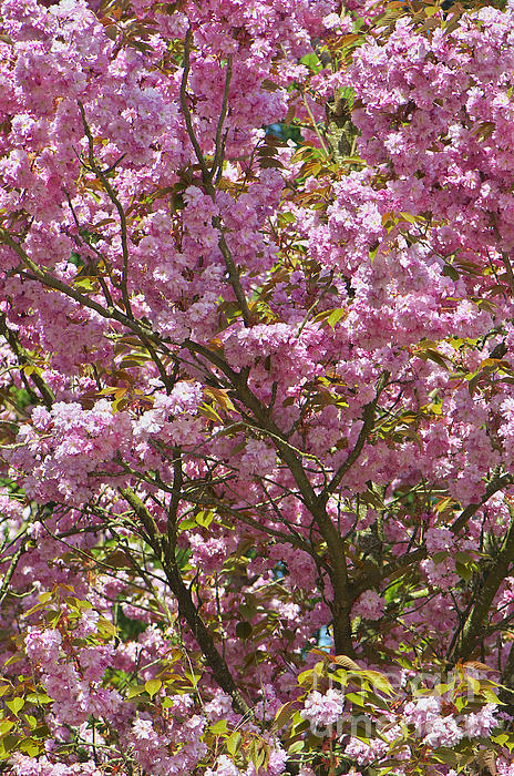 Ornamental Cherry Tree Print by Sharon  Talson