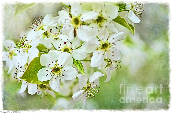 Debbie Portwood - Ornamental Pear Blossoms