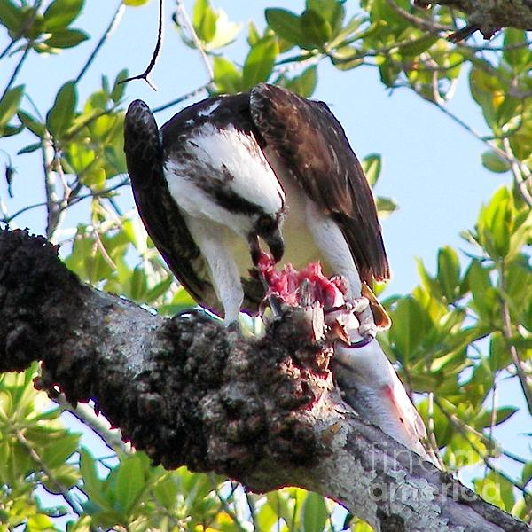 Osprey Eating A Large Fish Print by Judy Via-Wolff