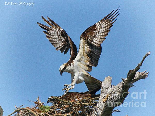 Osprey Mating Print by Barbara Bowen