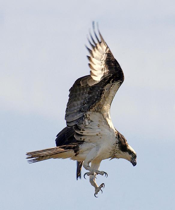 Osprey On Fripp Island Print by Bill LITTELL