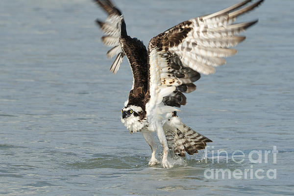 Osprey Taking Off Print by Bradford Martin