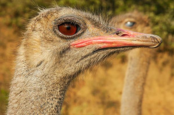 Ostrich Closeup Print by Jess Kraft