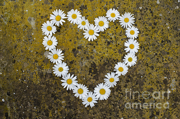 Oxeye Daisy Heart Print by Tim Gainey