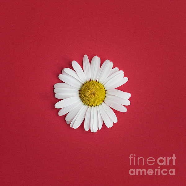 Oxeye Daisy Square Red Print by Tim Gainey