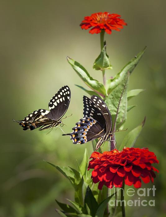 Palamedes Swallowtail Butterflies Print by Jo Ann Tomaselli