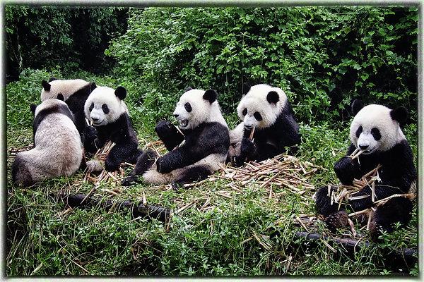 Pandas In China Print by Joan Carroll